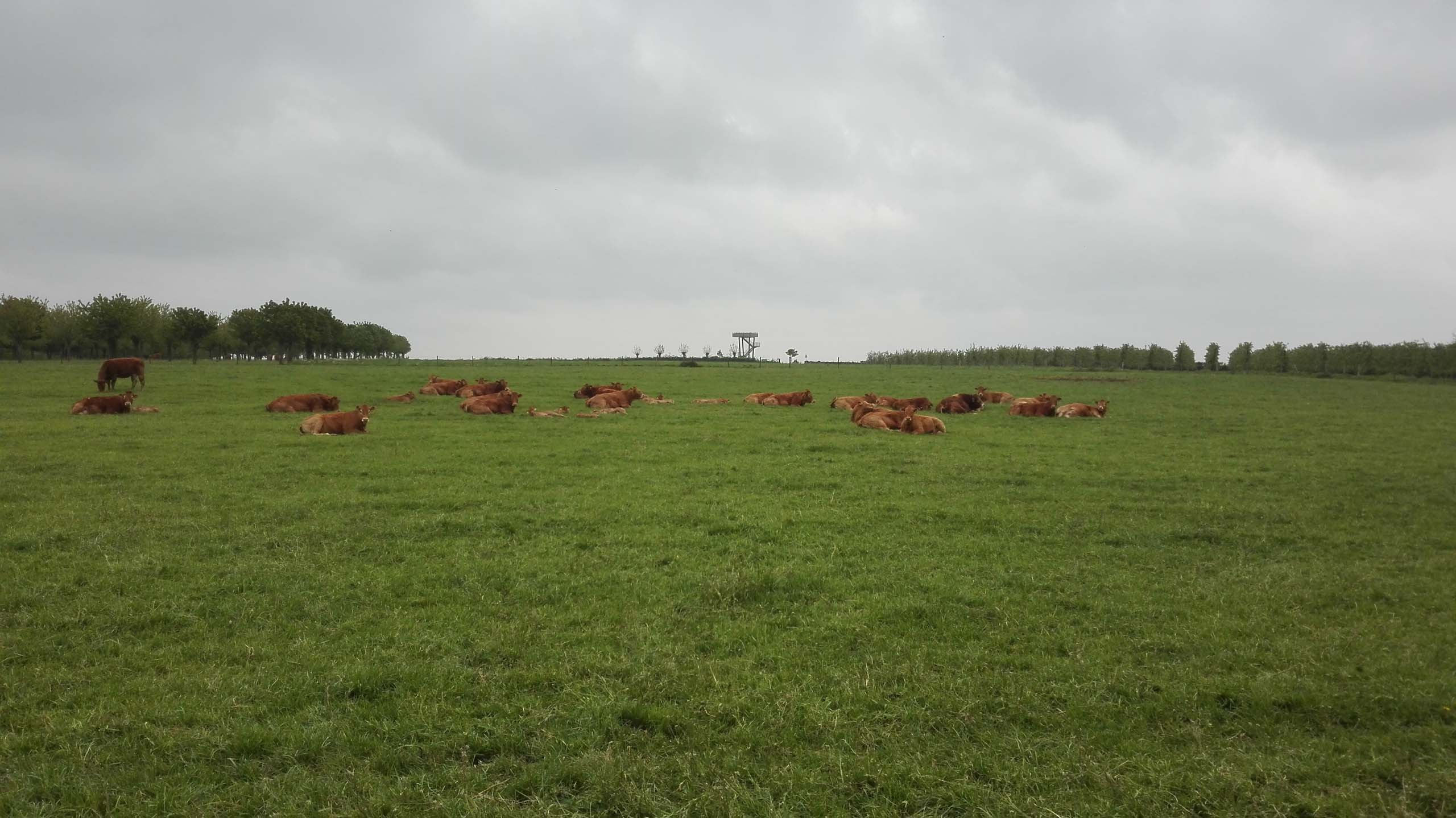 koeien n de wei